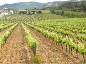 12 Viticultura
